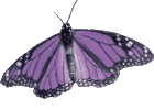 purple butterfly image