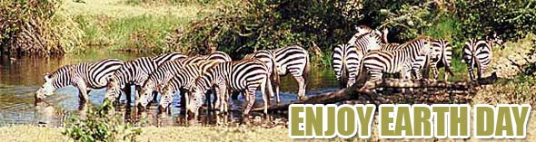enjoy earth day with zebras in the wild