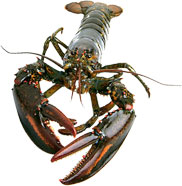 large lobster front view
